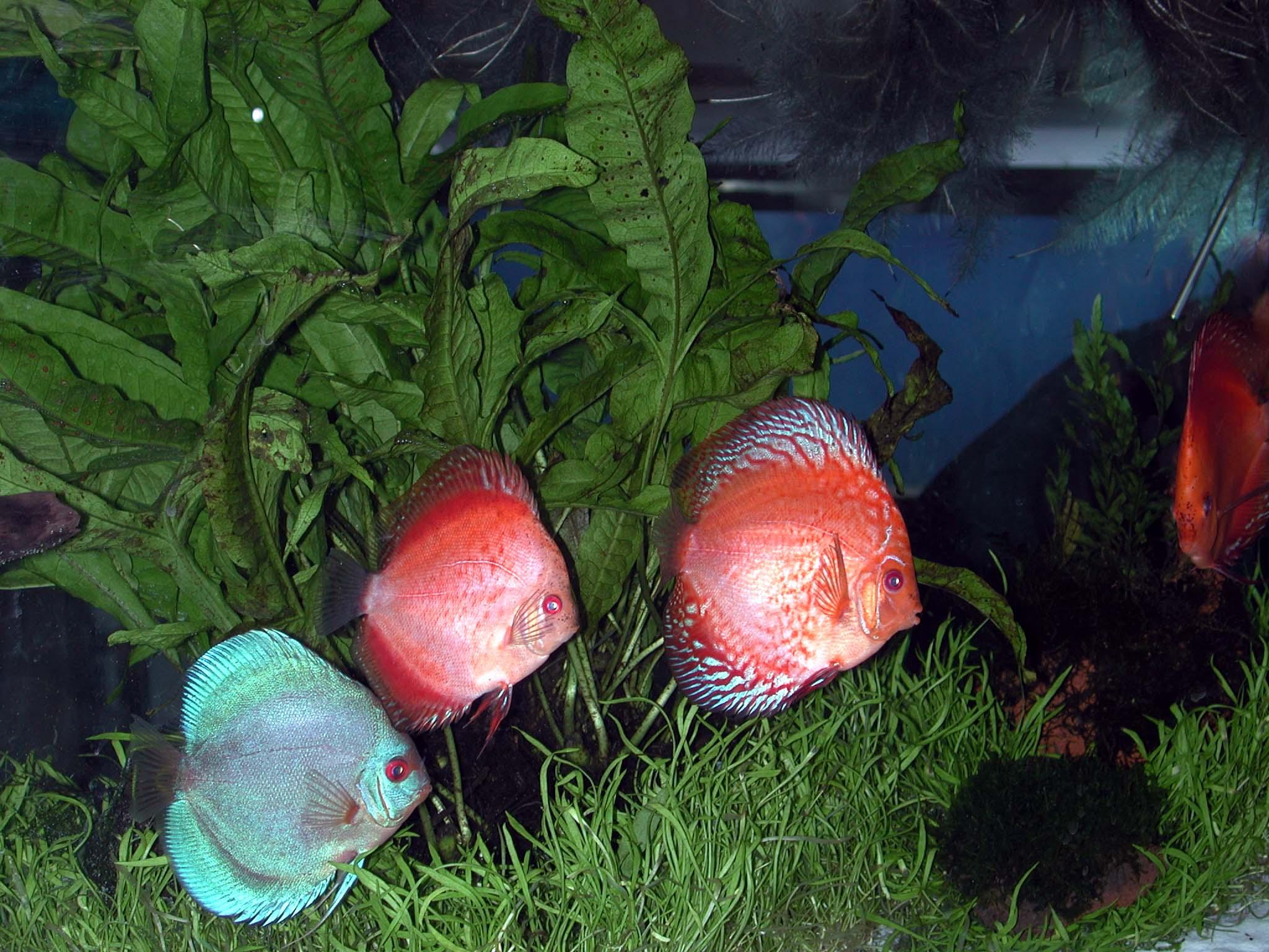 Club acquariologico erpetologico barese esperienze con for Pesci con la e