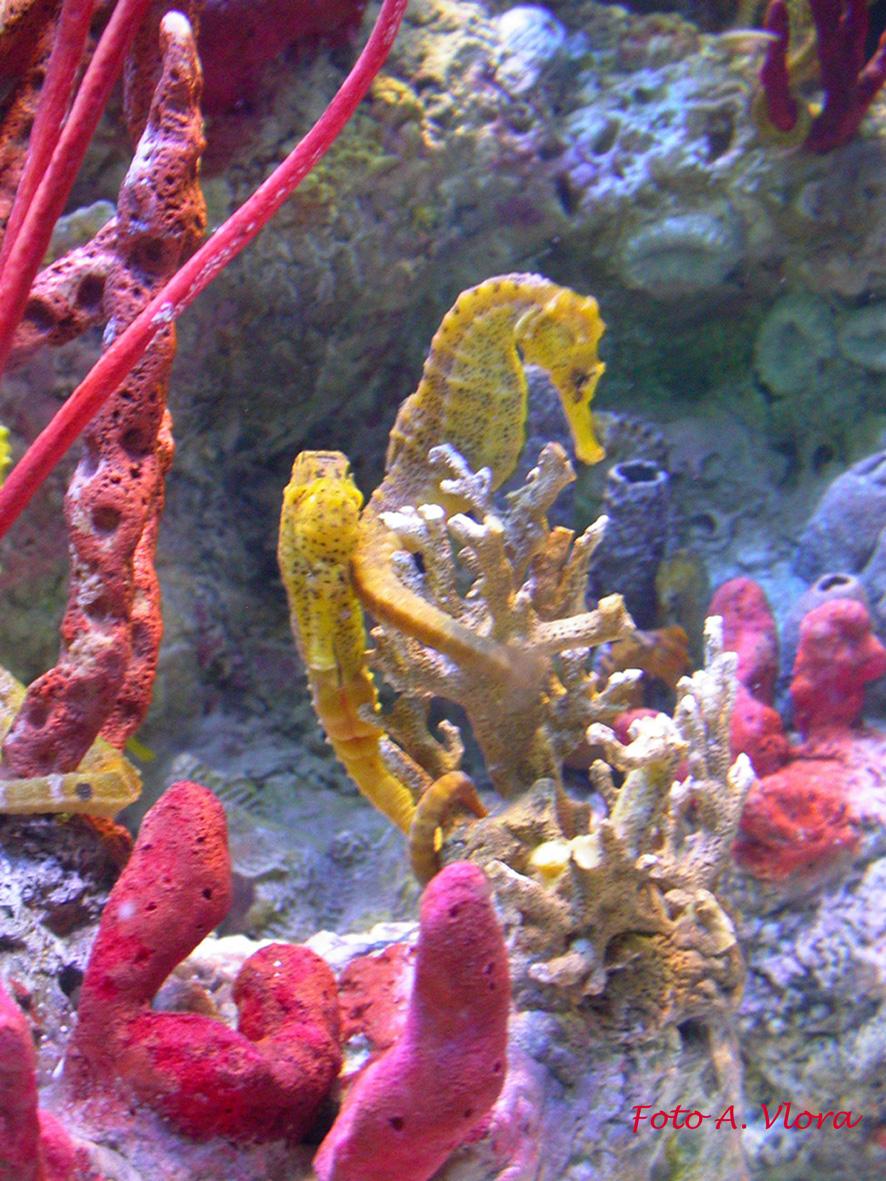 Club acquariologico erpetologico barese syngnathiformes - Colorazione cavallucci marini in ...